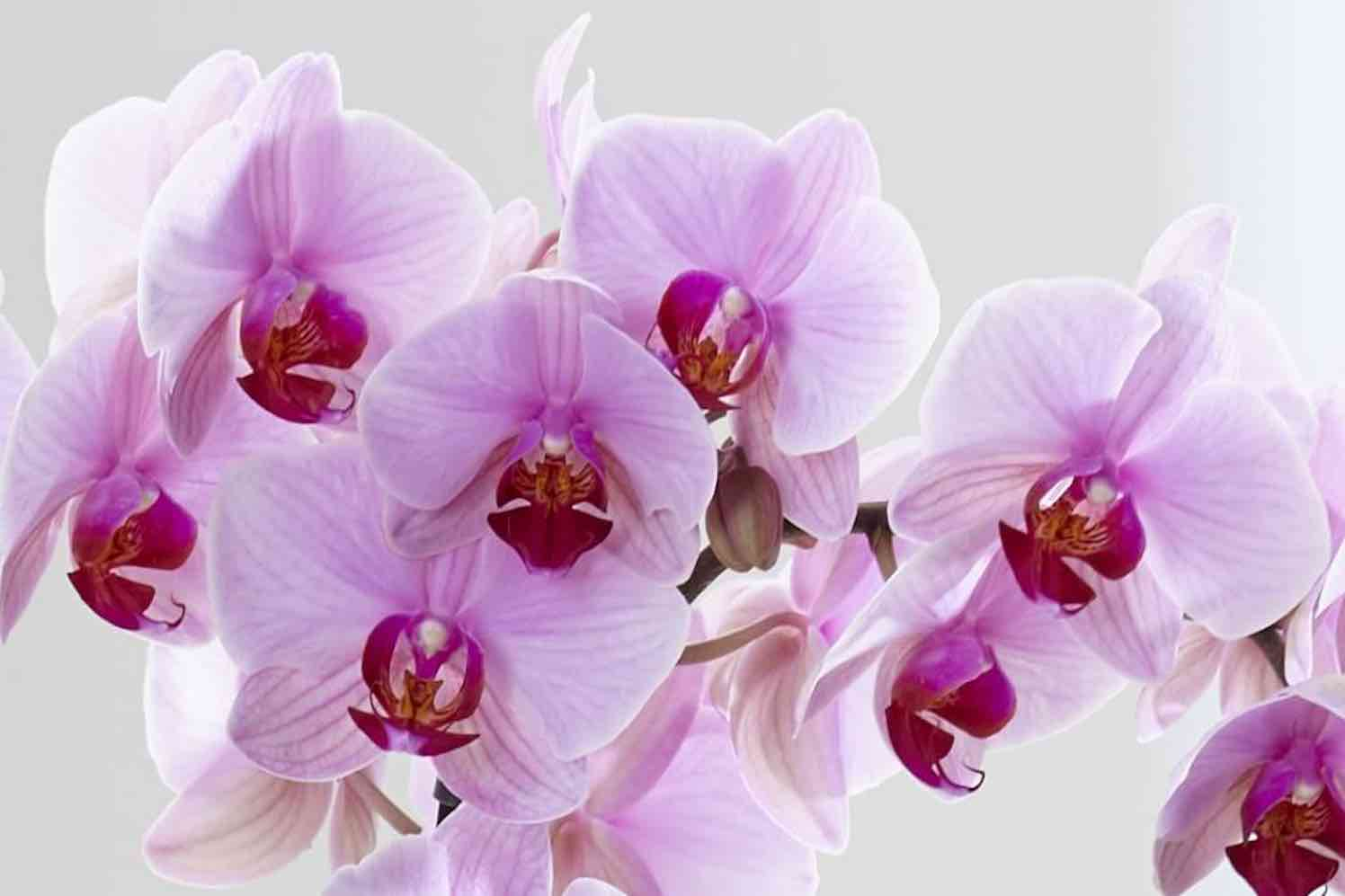 orchidee washington
