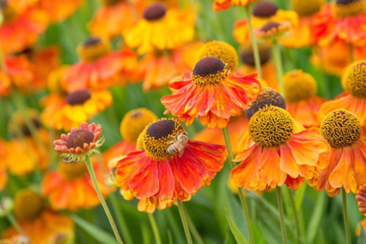 waterman-helenium