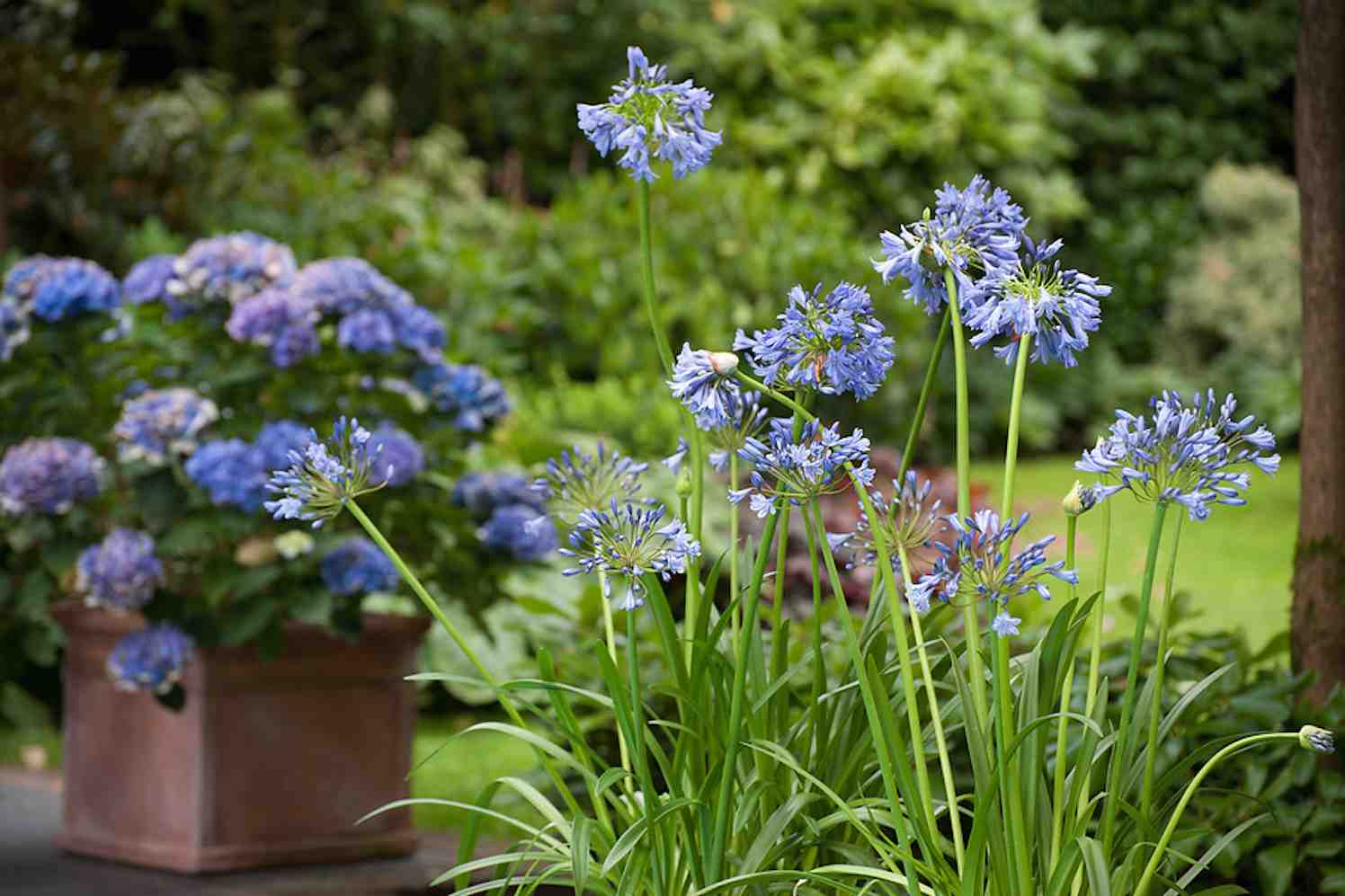 zomerbollen agapanthus
