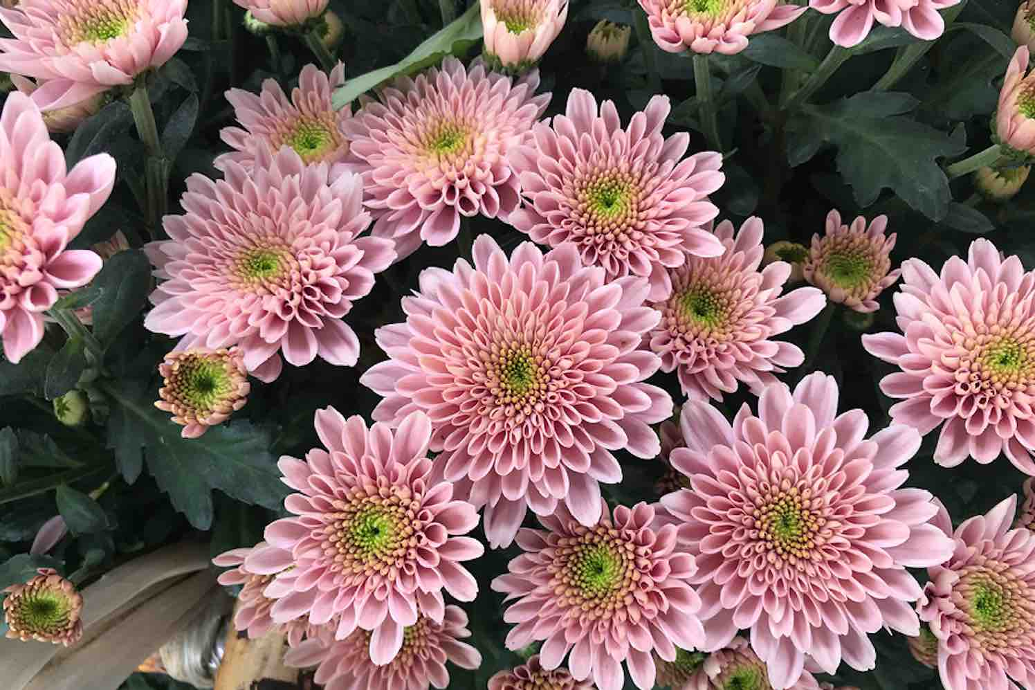 Chrysanthemum Berry
