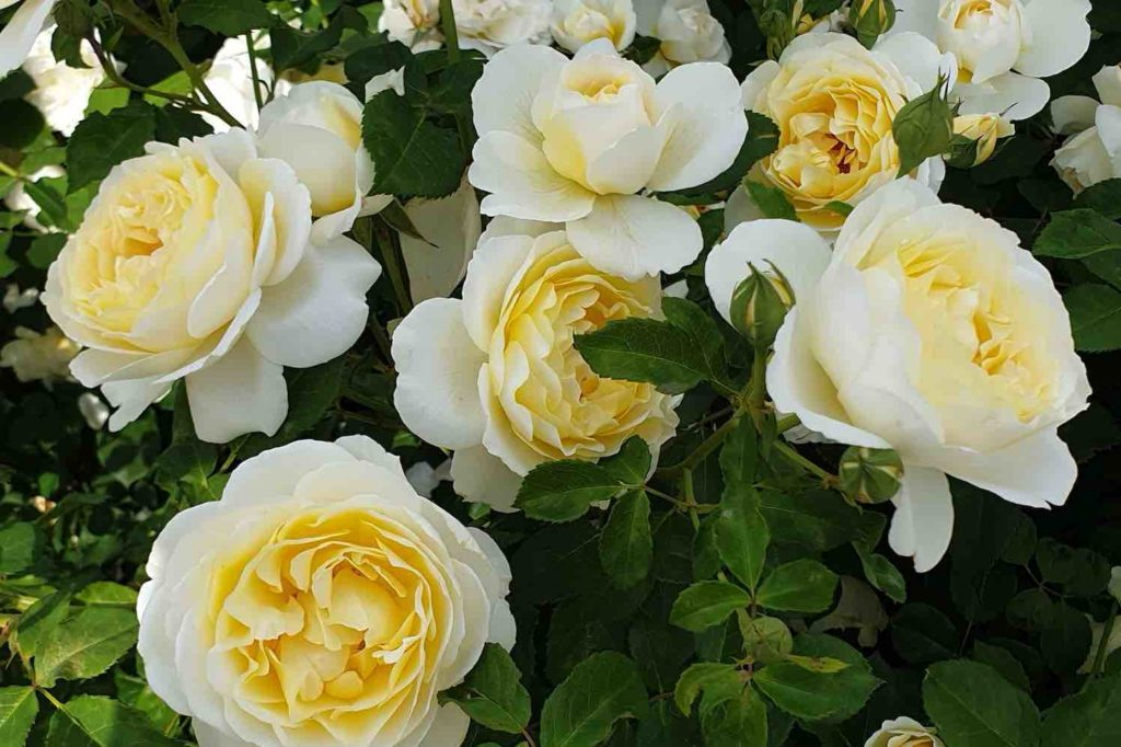 4 Excellence Roses